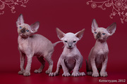 Котята для души,  пары для разведения.