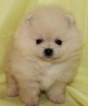 Породистый щенок шпица