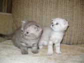 Котята породы скотиш-фолд