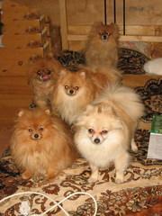 Шпиц померанский щенков